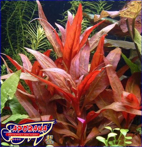 Alternanthera reineckii (Альтернантера рейнеки) - растения для тропического аквариума.