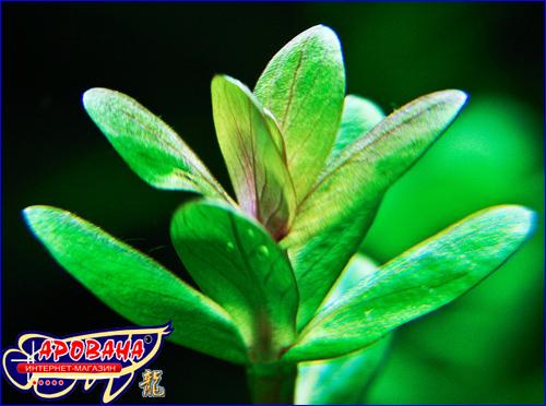 Ammania sp. 'Bonsai' (Аммания 'Бонсай'), - растения для аквариума на задний план.