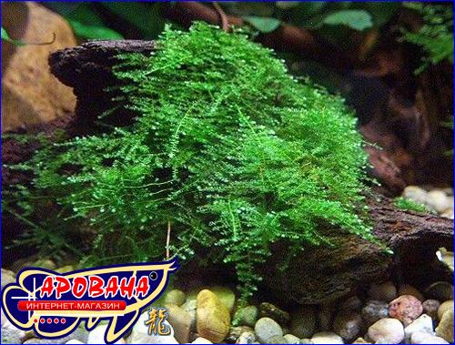 Taxiphyllum sp. Anchor moss - растение Мох Анчер.