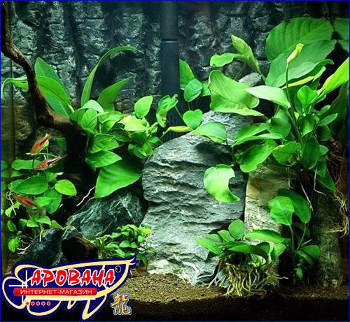 Anubias Barteri Var Broad Leaf - растение Анубиас Бартера Широколистный.