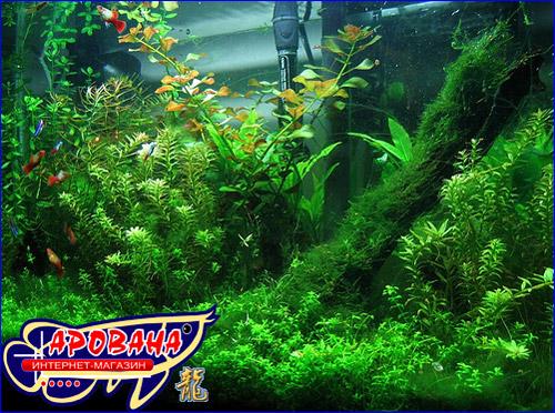 Аквариумные растения это болотные