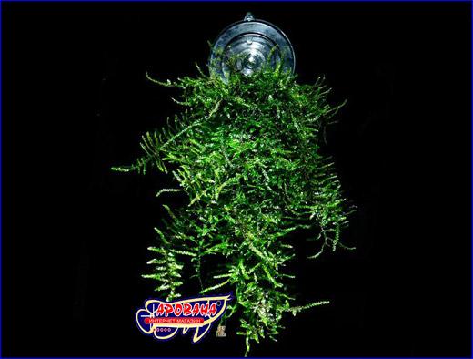 Аквариумный мох на присоске