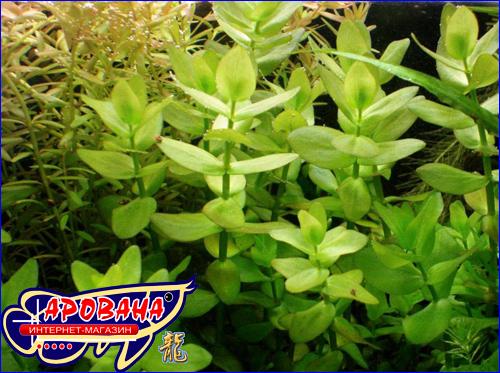 Васора caroliniana (Бакопа каролинская), - непривередливое аквариумное растение.