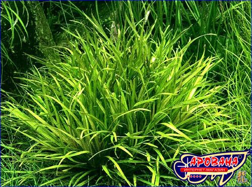 Blyxa Aubertii -  аквариумное растение Бликса Обера.