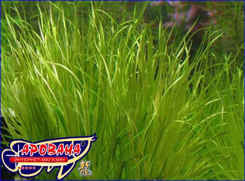 Blyxa japonica (Бликса японская) – растение для аквариумов растительного типа.