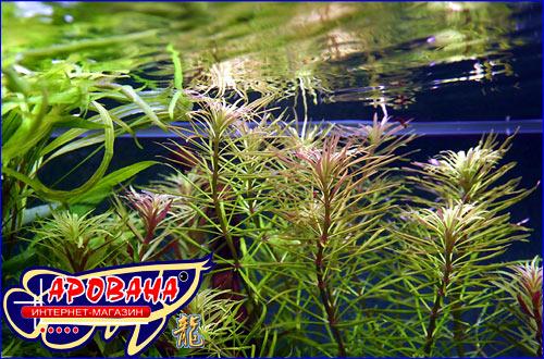 Pogostemon stellatus Broad Leaf - растение для аквариума Эустерализ Сталата.
