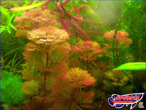 Cabomba furcata Кабомба фурката (вильчатая) - растения длинностебельное для аквариума.