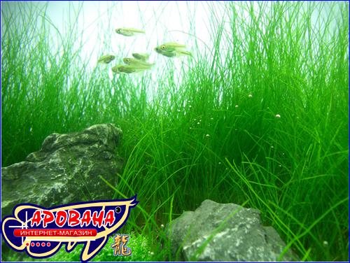 Eleocharis ''parvula'' (Элеохарис) -  низкорослое растение для аквариума.