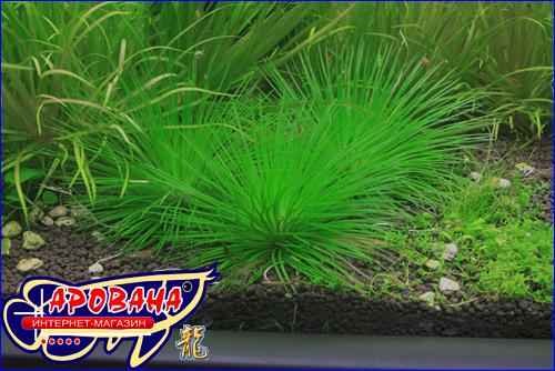 """Eriocaulon sp. """"Cinereum"""" (Эриокаулон синериум), - водное растение для травника."""