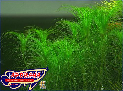 Eriocaulon setaceum (Эриокаулон сетасеум), - оригинальное аквариумное растение.