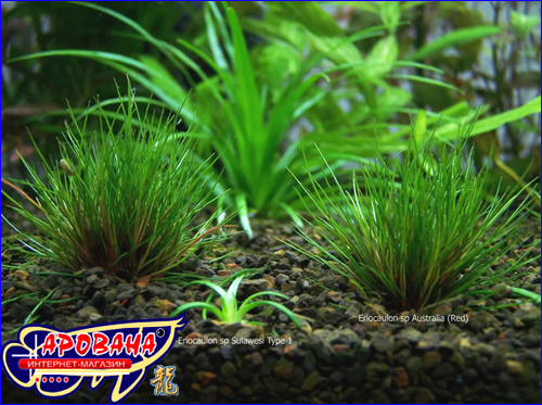 ���������� ������� (Eriocaulon sp.red), - ����� ������ �������� ��� ����������.