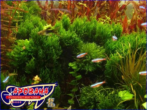 Flame moss (Мох пламя), - мох для аквариума.