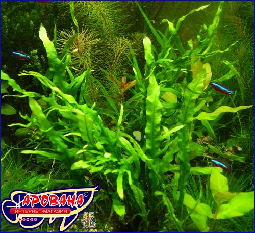Microsorum pteropus Fork Liaf - папоротник для таиландский.