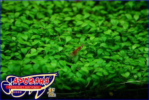 Glossostigma Elatinoides, - растение для дизайна в аквариуме.