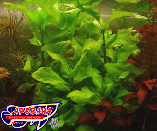Gymnocoronis spilanthoides (Гимнокоронис спилантоидес), - декоративные растения для травника.