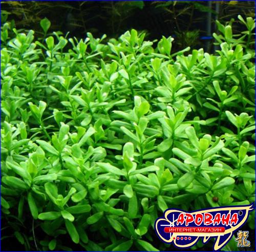 Hedyotis salzmannii (Хедиотис Зальцмана) -  растение для аквариума высокой скорости роста.
