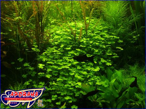 (Hydrocotyle tripartita) Гидрокотила трипартита, - растения для нано-аквариума.