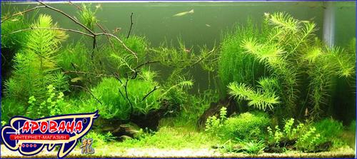 Hydrotriche hottoniiflora (Гидротрихе или Гидротрих), - зелёное растение для аквариума.