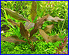 ����������� ��������, Hygrophila Brown.