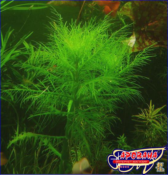 Hygrophila balsamica - Аквариумное растение Гигрофила бальзамика.