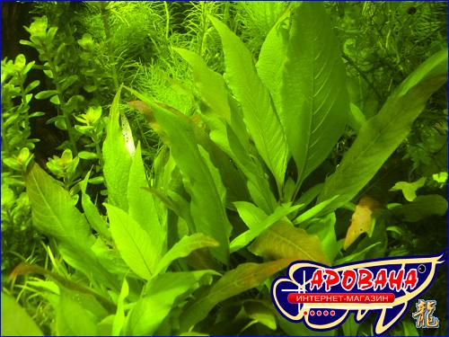 Hygrophila corymbosa Kompakt (Гигрофила коримбоза Компакт) - гигрофила для аквариума.