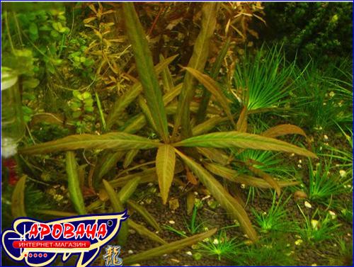 """Нygrophila sp.""""red"""" (Гигрофила красная), - растение для аквариумов голландского типа."""