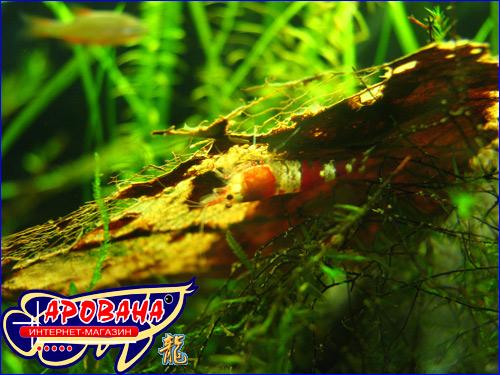 Листья кетапангу (индийского миндаля) создают воду близкую по свойствам к тропической воде в природной среде.