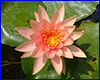 �������� �������� Perry�s Orange Sunset, 1 ����� �����.