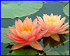 �������� �������� Perry�s Orange Sunset, 2 ����� �����.