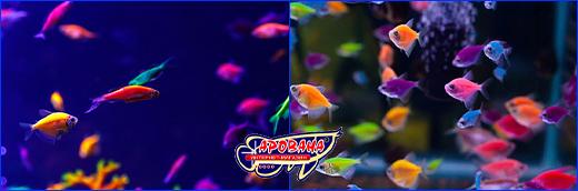 Яркие аквариумные GloFish.
