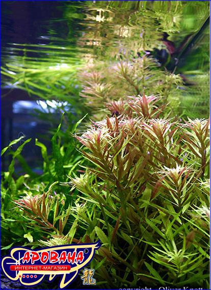 Limnophila aromatica (Лимнофила ароматика), - красное растений для аквариума.