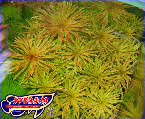 Ludwigia inclinata var. verticillata 'Cuba'' (Людвигия кубинская) - аквариумные растения.