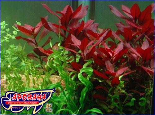 Ludwigia repens Rubin (Людвигия репенс Рубин) - растения для аквариума.
