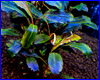 ����������� ��������, Bucephalandra sp. Solid Blue.