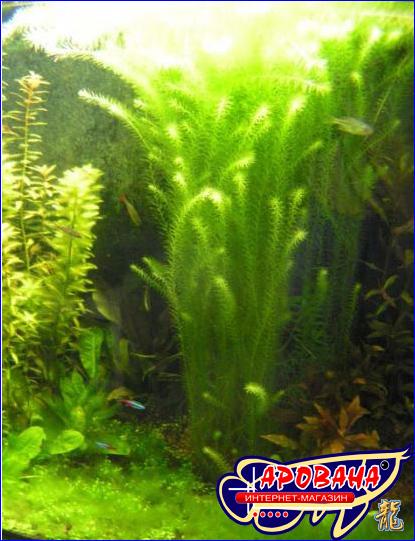 Mayaca fluviatilis - аквариумное растение Майака речная, купить