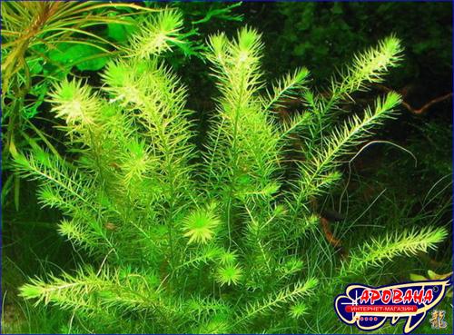 Mayaca fluviatilis - аквариумное растение Майака речная.