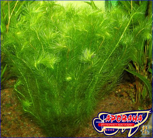 Mayaca sellowiniana (Майяка Селловиниана) - растения для оформления аквариума.