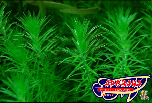 Mayaca sp. Sao Paulo - редкое растение в аквариум Майяка Сау Паул.
