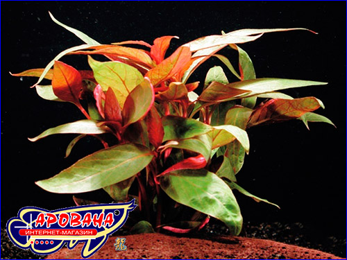 Альтернантера лиловая (Alternanthera reineckii lilacina)