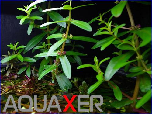 Аммания мультифлора (Ammania multiflora).