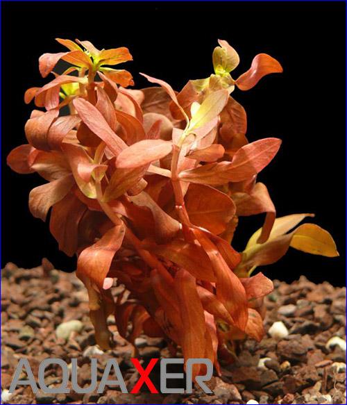 Аммания грацилис (Ammannia gracilis).
