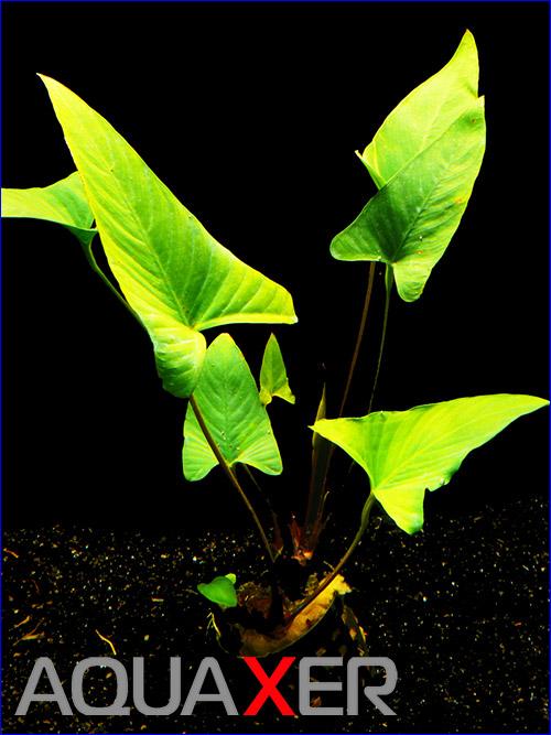 Анубиас грациозный (Anubias gracilis)