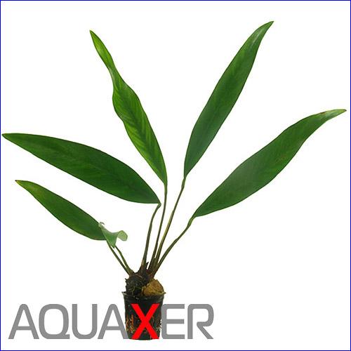 Анубиас узколистный (Anubias lanceolata).