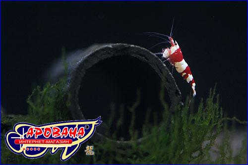 Бамбуковая угольная трубка для креветок или нереста рыб требующих укрытия.