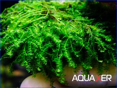Callicostella prabaktiana - moss sp. Sumater