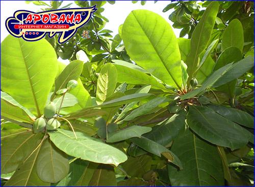 Листья с семенами дерева Кетапанга.
