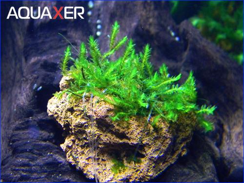 Moss sp. Batang Ai