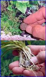 Посадка растений с турмалином
