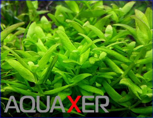 Оригинальное аквариумное растение Bacopa sp. Japan.