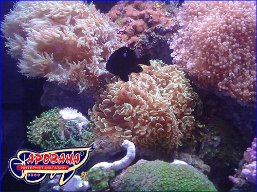 Морская соль для крупнополипных кораллов.